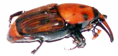 Control of red palm weevil in the algarve